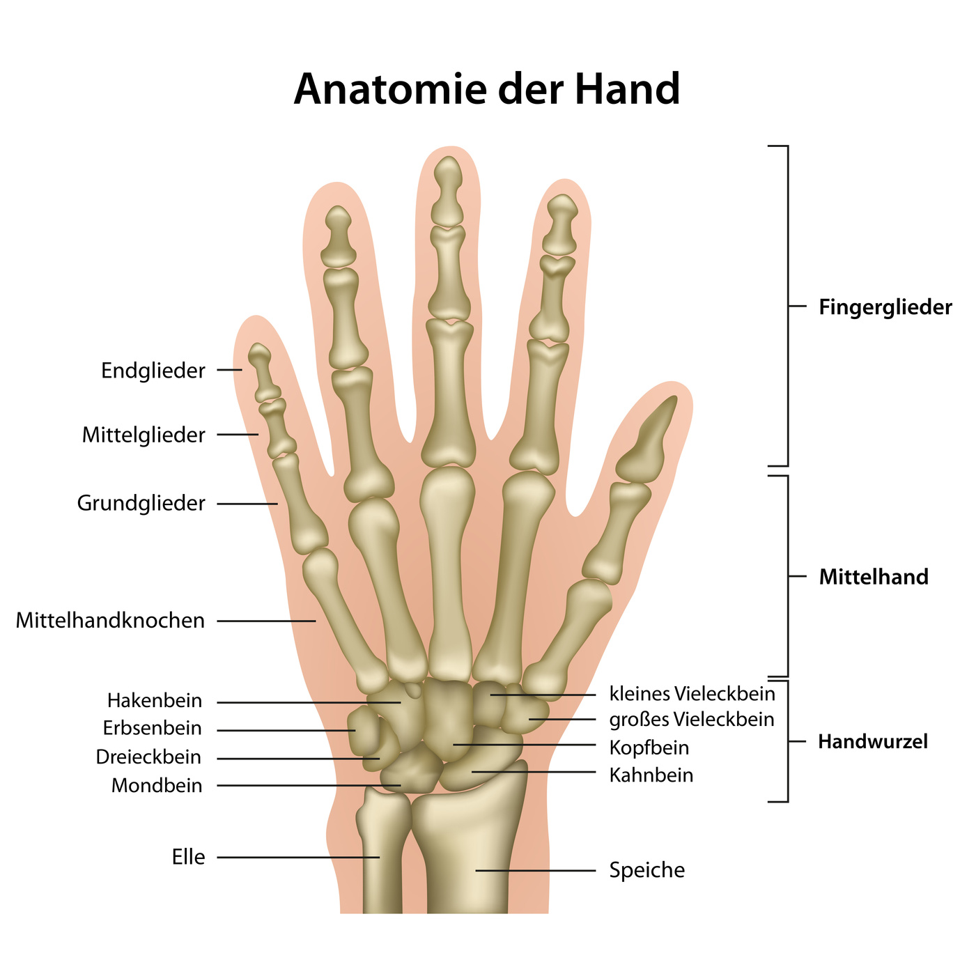 Mittelhandknochen